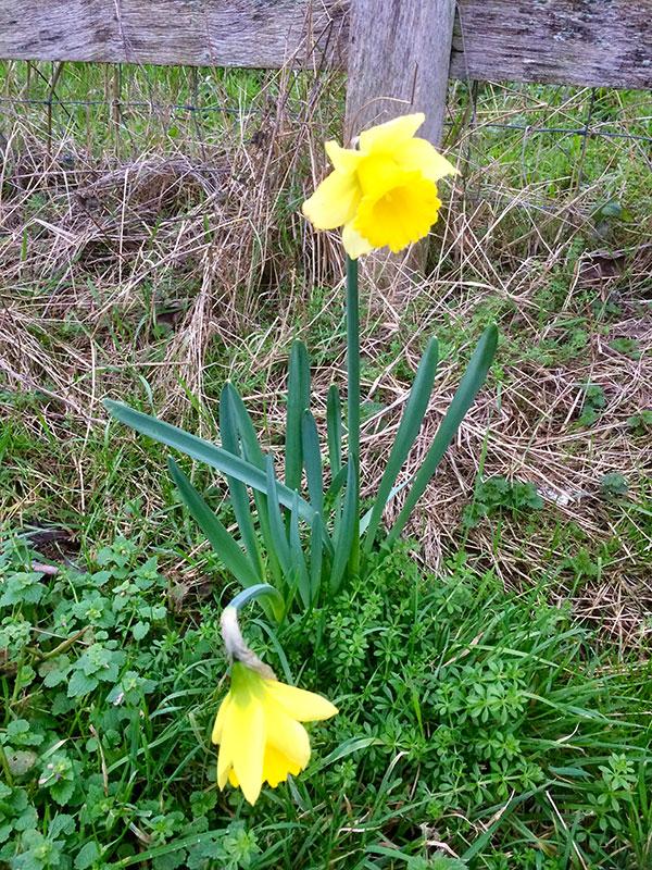 Abbotsbury daffodils